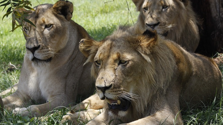 Lions Who Killed Poacher Claim He Was Armed